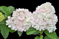 Delicate white-pink Hydrangea inflorescences on black background close up