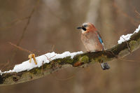 Eurasian jay with blue and beige feathers sitting on the branch in winter