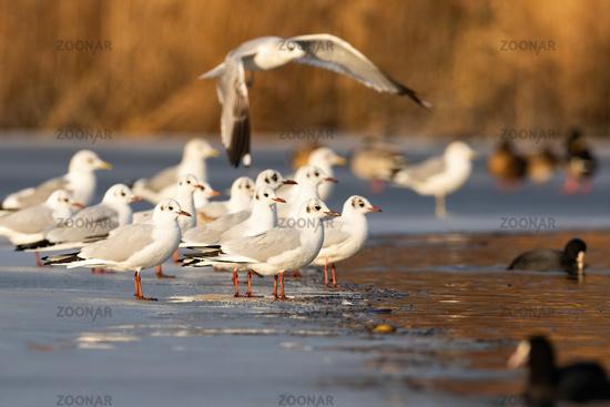 Flock of black-headed gull standing on ice in winter.