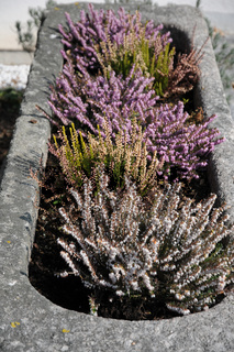 Erica carnea, Winterheide, Winter heath