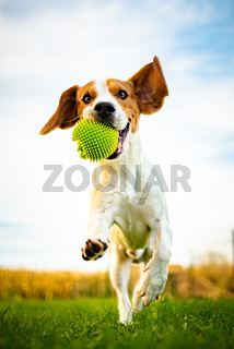 Portrait of beautiful dog outdoors,Running full of positive energy