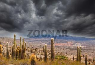 Cactus in Altiplano