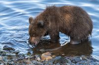 Cute brown bear cub eating caught red salmon fish standing on river bank. Wild animal child