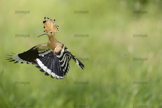 Eurasian hoopoe [Upupa epops]