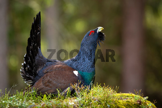 Massive western capercaillie male strutting in forest on a moss covered ground