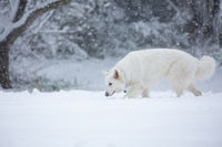White shepherd dog in snow