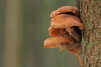 Bulbous honey fungus (Armillaria mellea)
