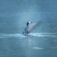 Barnacle goose morning bath ritual 3.