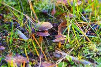 Zimtbrauner Hautkopf, Cortinarius cinnamomeus -  cinnamon webcap, Cortinarius cinnamomeus in autumn forest