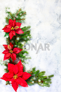 Christmas poinsettia flower with fir branches.