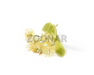 Medical flowering plant of fresh natural branch of Linden or Tilia tree.