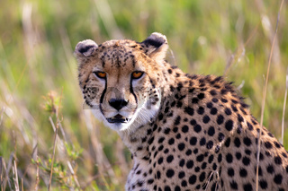 Close up of a cheetah between the grass
