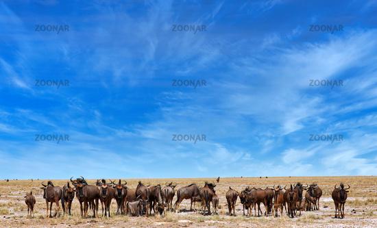 wildebeest, Etosha National Park, Namibia, (Connochaetes)