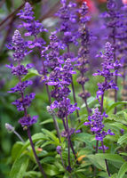 Blue Sage, Salvia farinacea