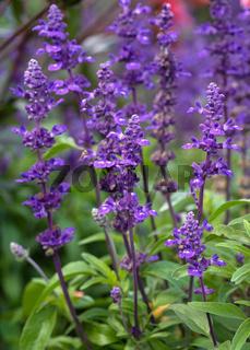 Blue Sage, Salvia farinacea