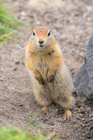 Close up portrait of curious arctic ground squirrel, animal stands on its hind legs and carefully