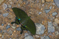 Paris Peacock, Papilio paris, butterfly, Garo Hills, Meghalaya, India