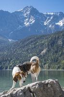 Beagle and Zugspitze