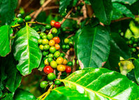 Bunches of red and green arabica coffee fruit on branches of coffee tree.
