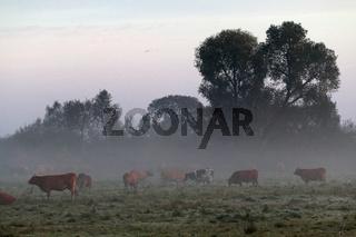 Milchkühe auf der Weide im Morgennebel