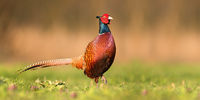Proud common pheasant male walking forward on a green meadow in spring