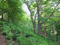 summer woodland with vibrant green foliage and sunlit ferns on the forest floor with bright sky behind the trees