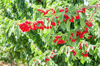Cherry berry tree in orchard