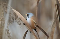 Bearded Reedling or Bearded Tit (Panurus biarmicus) Baden-Wuerttemberg, Germany