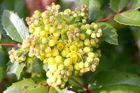 Oregon grape (Mahonia)