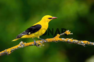 Male adult golden oriole, oriolus oriolus, on a moss covered twig in summer
