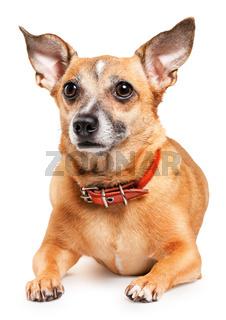 toy terrier