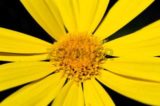 Macro shot of an aster bloom
