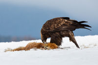 Golden eagle eating prey on snow in wintertime nature