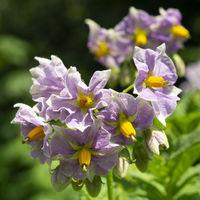Bloom of the potatoe
