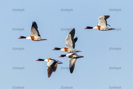 Common Shelduck males and female in flight / Tadorna tadorna