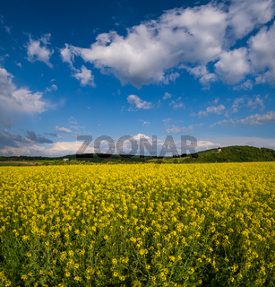 Spring rapeseed yellow blooming fields view, blue sky with clouds in sunlight. Pyatnychany tower (defense structure, 15th century) on far hill slope.