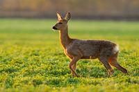 Roe deer walking aside on green pasture in springtime nature