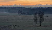 Birch trees in the winter dawn