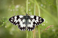 a checkerboard butterfly on a plant in a meadow