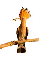 Eurasian hoopoe sitting on branch isolated on white background.