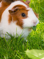 Guinea pig eating greens
