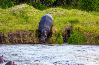Huge hippo descends to the lake