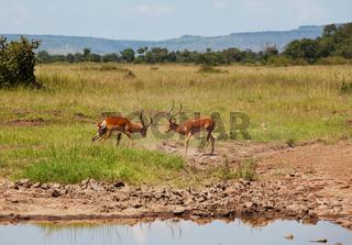 Antelope in Namibia