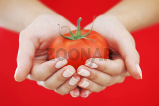 tomato in woman hands tomato in woman hands