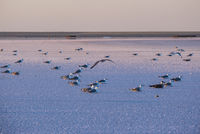 Seagulls on sunset Genichesk pink  salty lake, Ukraine