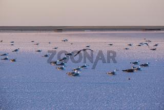 Seagulls on sunset Genichesk pink  salty lake, Ukraine