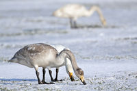 Whooper Swan immatue and adult birds on a snow-covered meadow / Cygnus cygnus