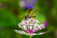 European paper wasp on an astranatia flower