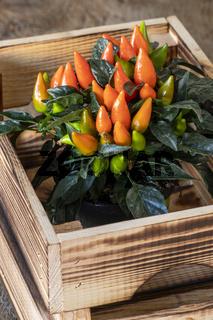 Chilis in einer Holzkiste