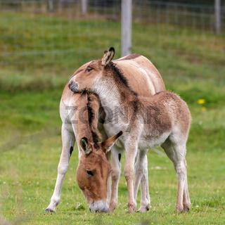 Przewalski Horse (Equus ferus przewalskii)